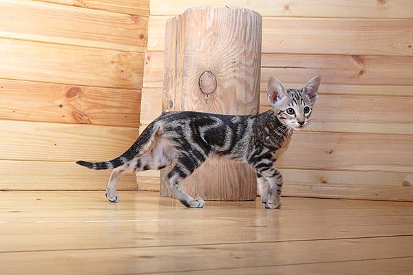 кошка с черно-мраморной окраской