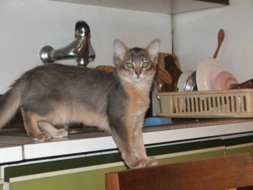 Сколько стоит котенок сомали