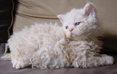 Котенок породы Селкирк рекс