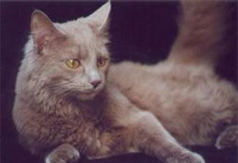 Окрас йоркской шоколадной кошки