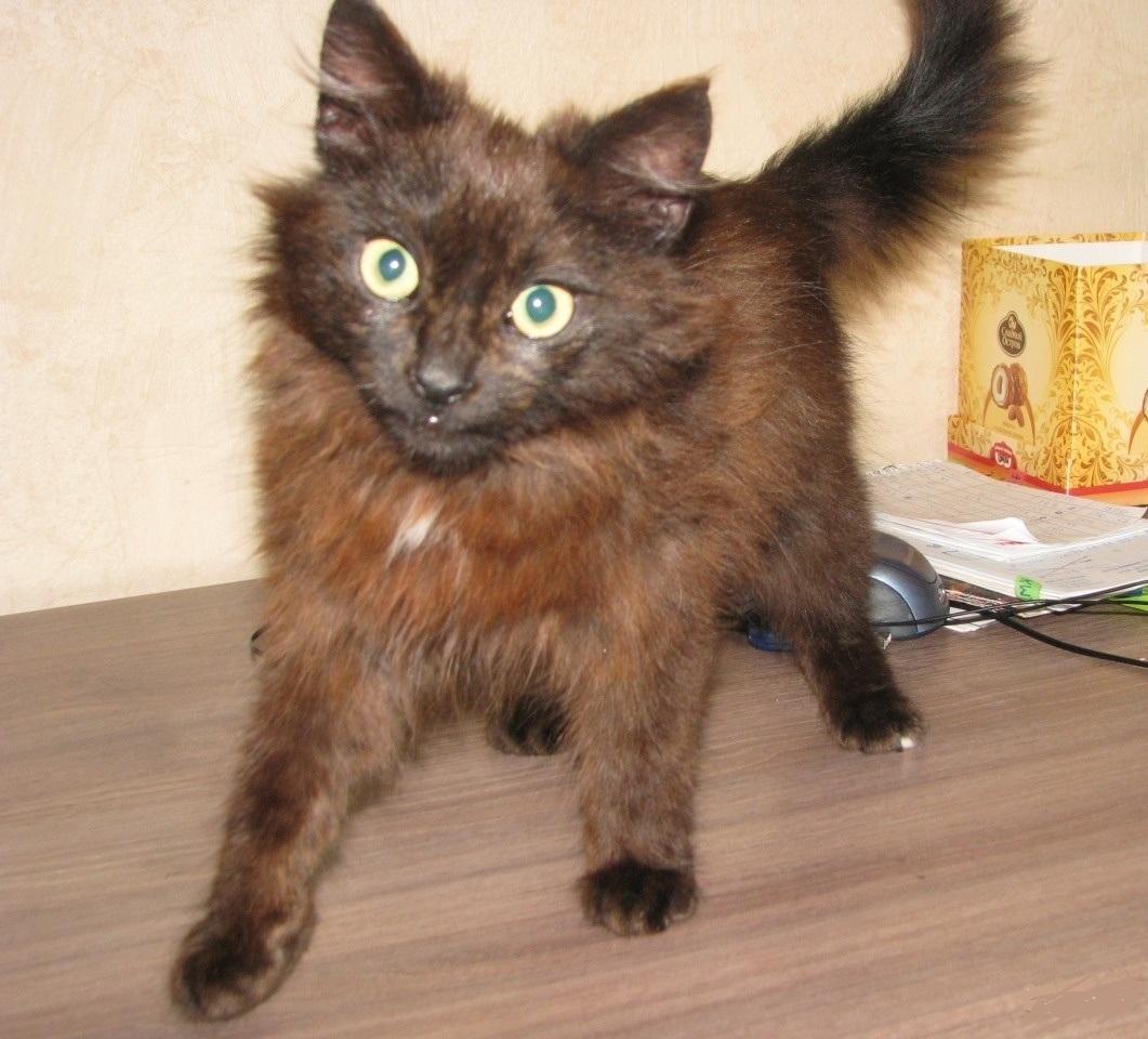 Котенок шоколадного окраса