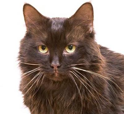 кошка йоркская шоколадная фото
