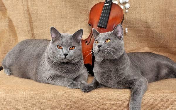 Взрослые кошки породы шартрез
