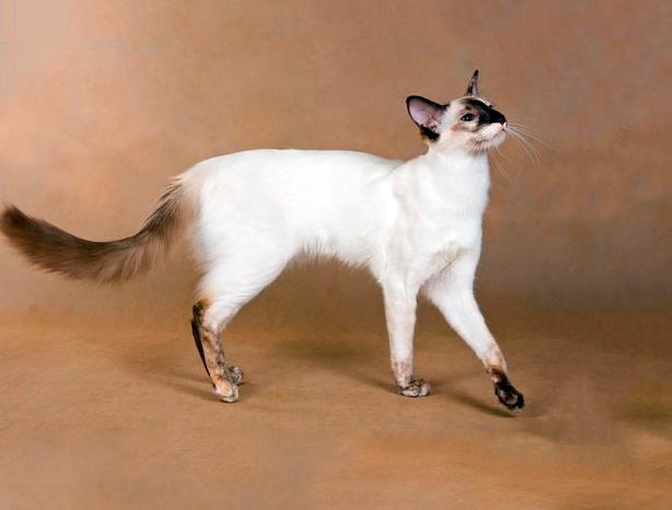 Балинезийский кот