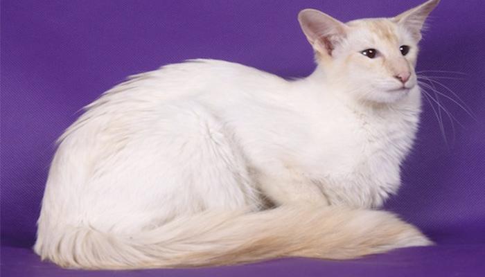 Кошка балинез фото