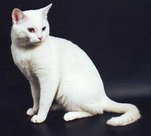 Белая европейская кошка