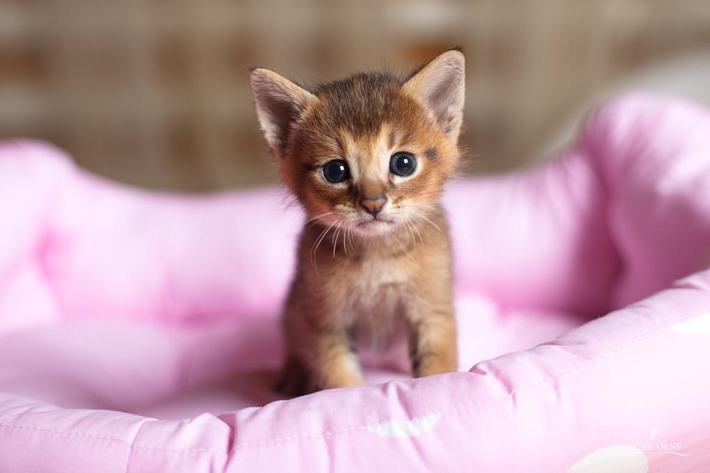 Как выглядит котенок чаузи