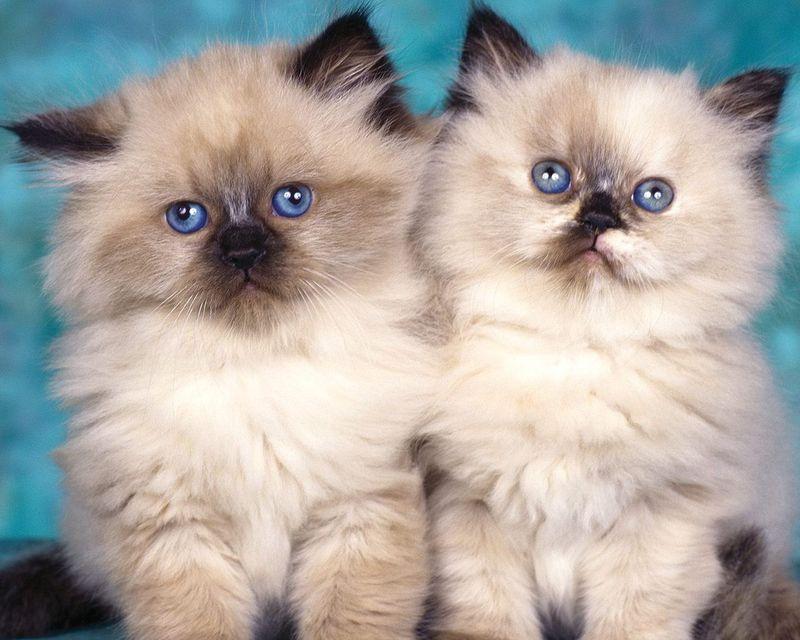Гималайские котята