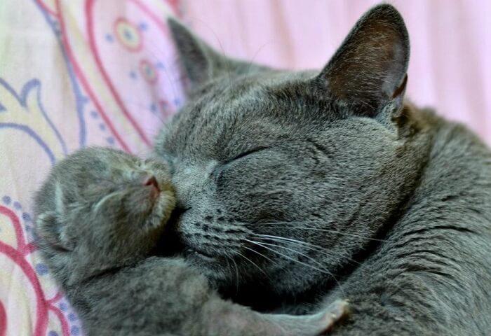 Кошка с котенком шартрез