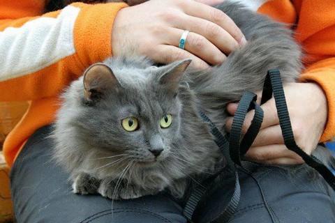 Спокойная кошка нибелунг