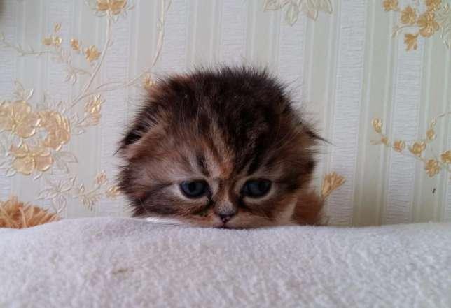где купить котенка хайленд фолд