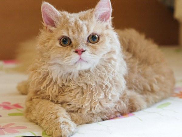 Кот Селкирк рекс кремового цвета
