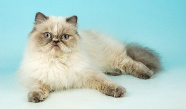 Как выглядят гималайские кошки