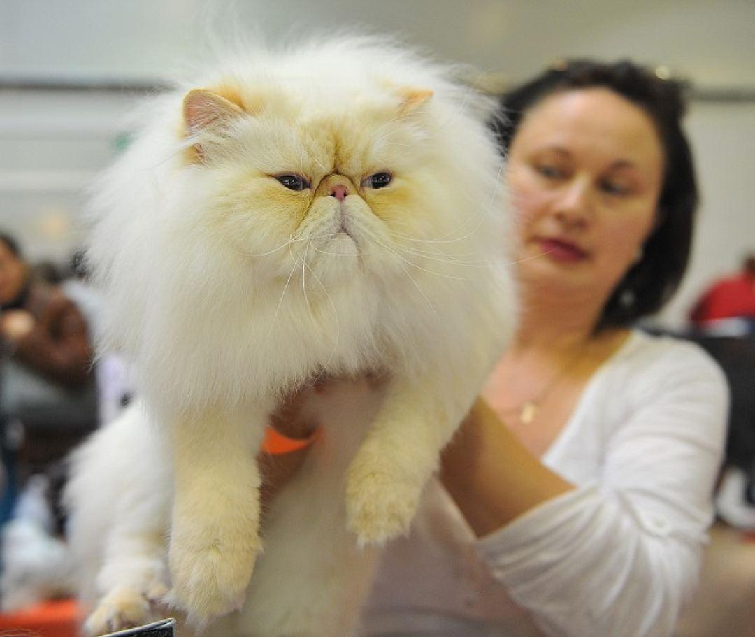 Отзывы владельцев о гималайской породе кошек