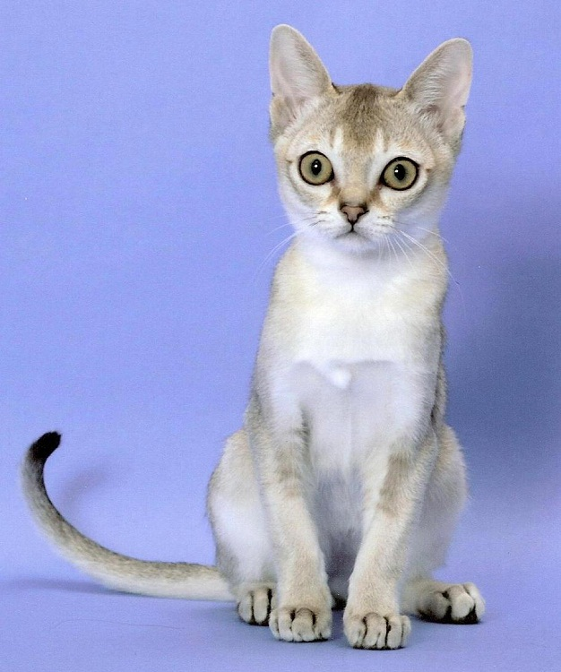 Фото сингапурской кошки