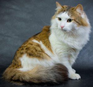 Уход и содержание за кошками рагамаффин