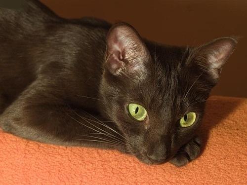 История породы кошек гавана