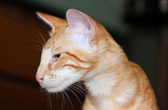 Отзывы владельцев о яванской породе кошек