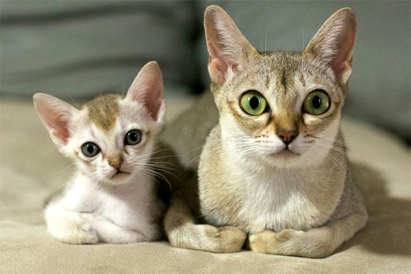 Кошка с котенком сингапурской породы