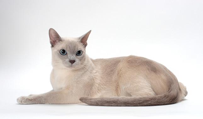 фото и описание тонкинской кошки