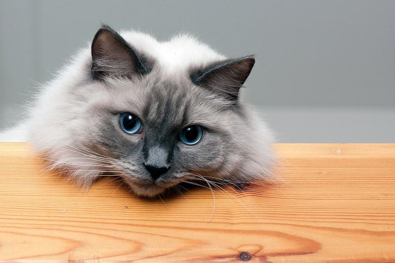 Голубоглазая кошка рэгдолл