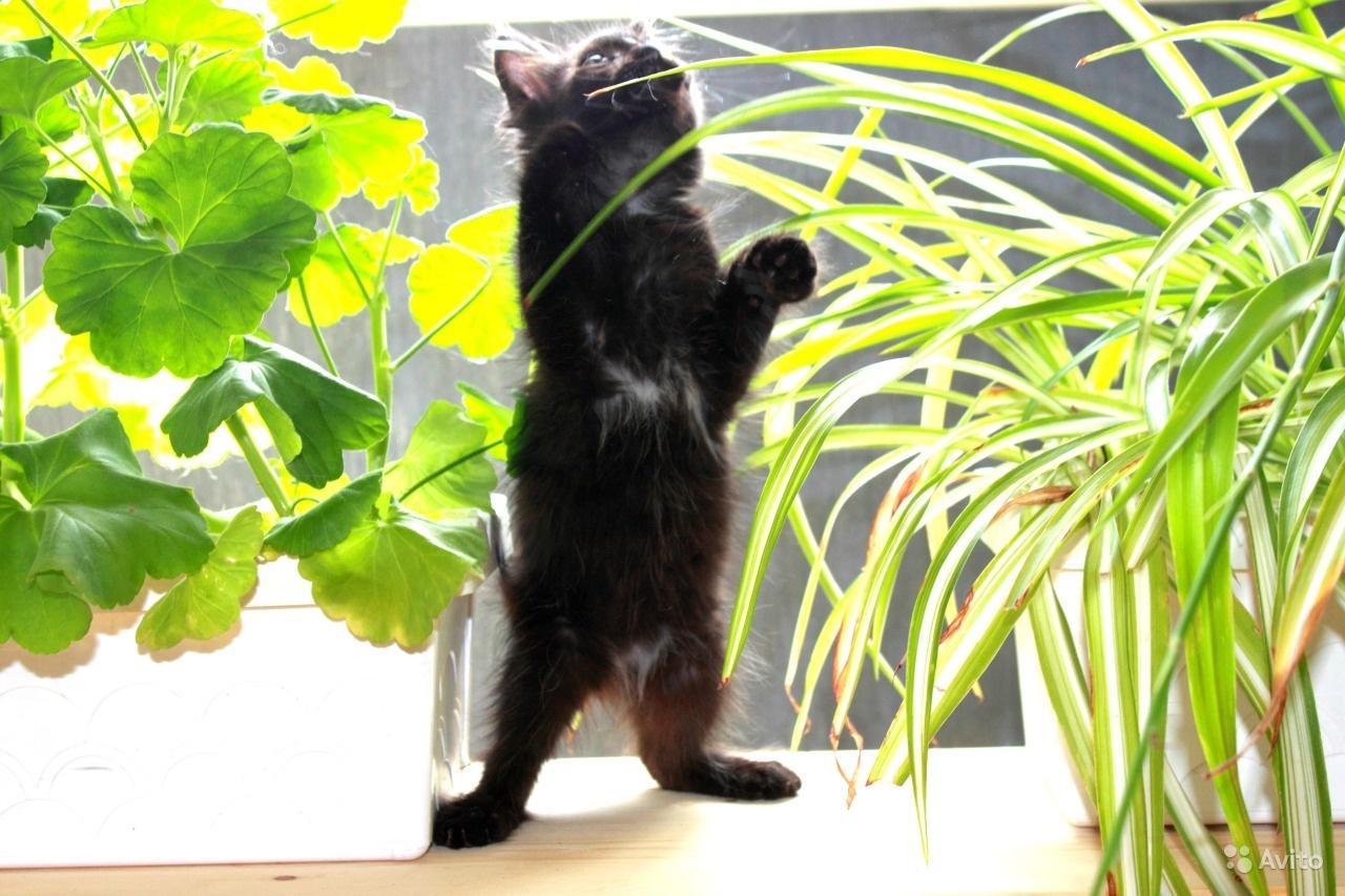Черный котенок шантильи тиффани