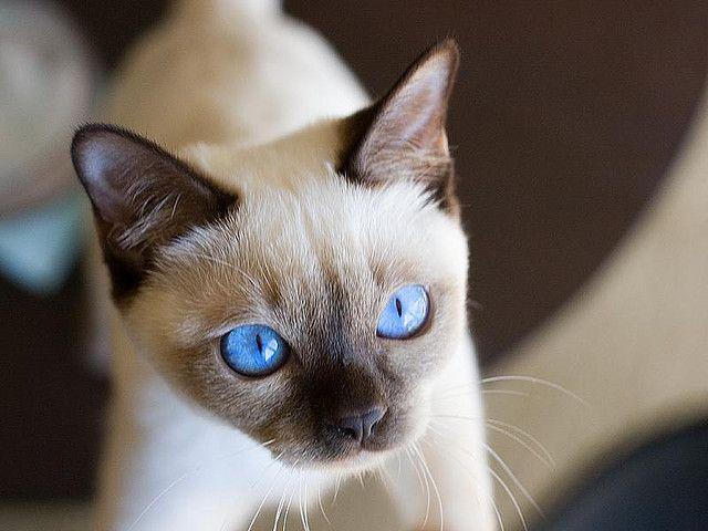 Котенок породы тонкинез