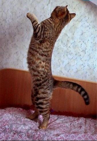 фото и описание породы калифорнийской сияющей кошки