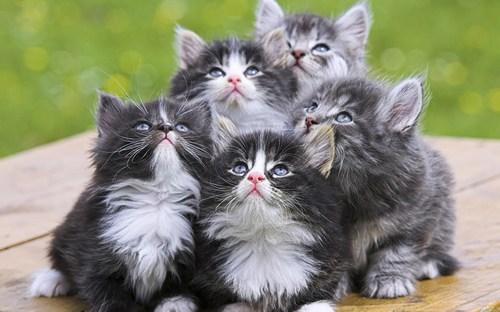 Котята породы рагамаффин