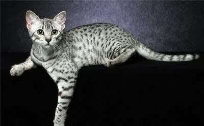 Калифорнийская сияющая кошка серебристого окраса