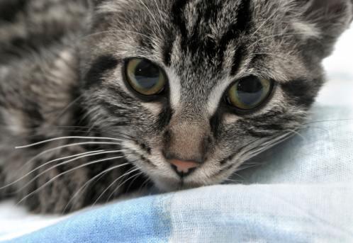 Котенок калифорнийской сияющей породы