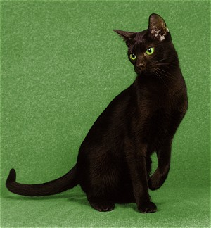 Окрас кошек гавана