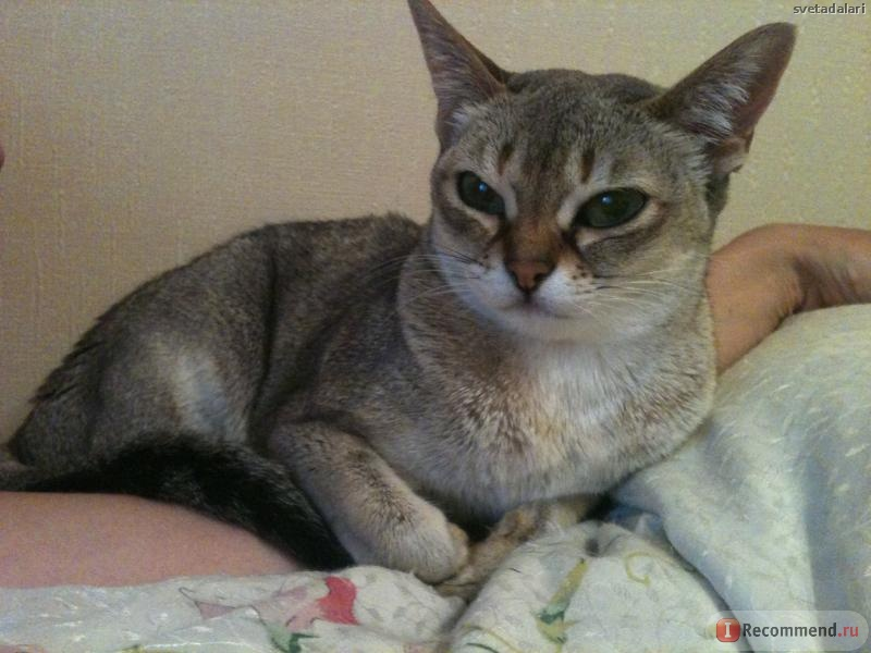 Отзывы о сингапурской породе кошек