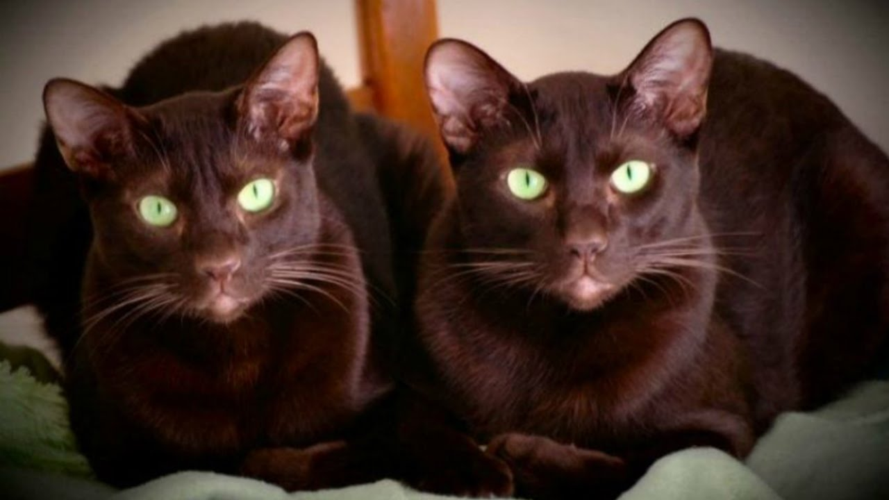 Уход и содержание кошек гавана