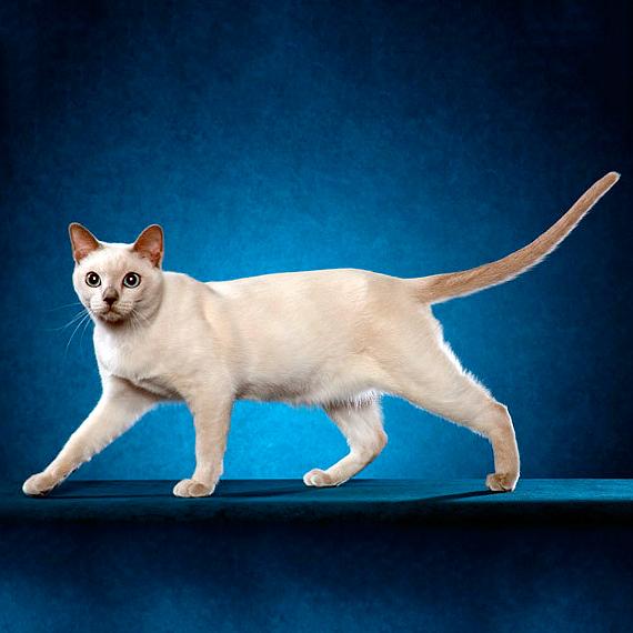 Короткошерстный кот тонкинез