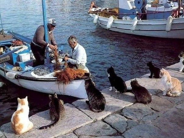 Родина эгейской породы кошек