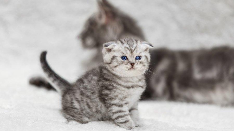 Мраморная расцветка у кошек