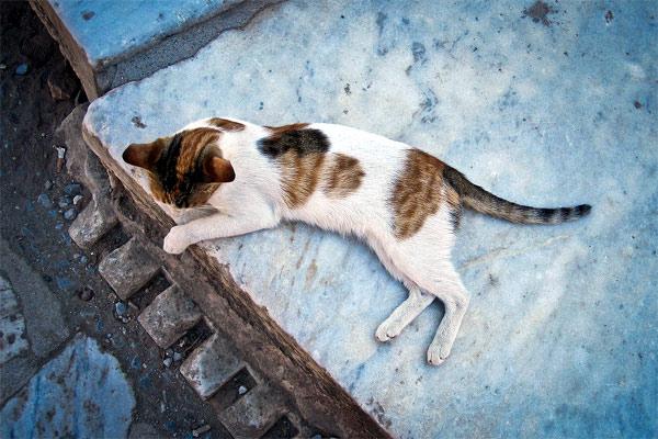 Варианты окраса эгейской кошки
