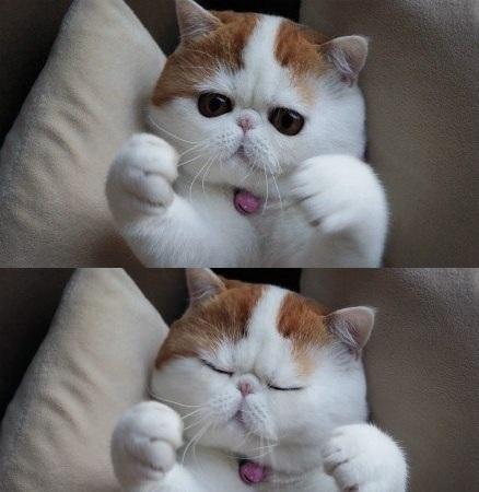 Китайский котенок Снупи