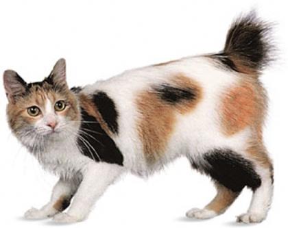 Взрослый кот породы японский бобтейл