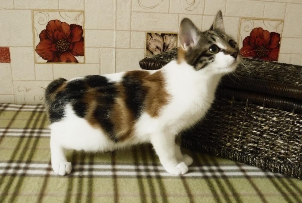 котенок японского бобтейла