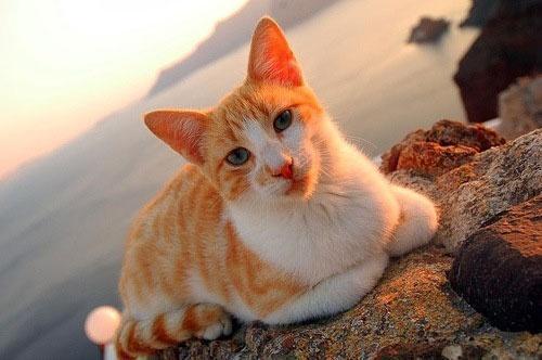 Описание породы эгейской кошки