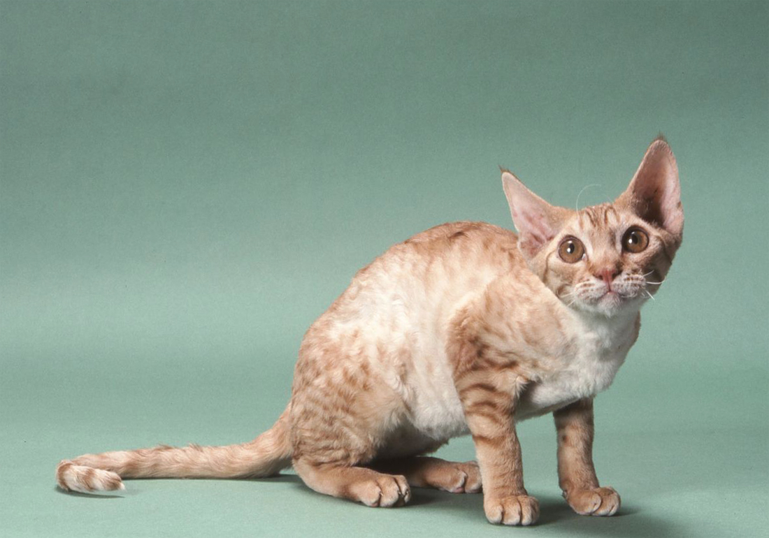 порода кошек немецкий рекс