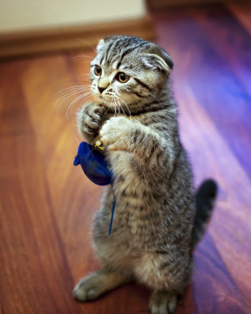 Сколько живут вислоухие коты
