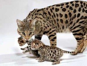 Кошка и котята саванны