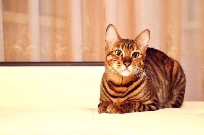 сколько стоит котенок тойгер