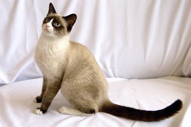цена котенка сноу шу