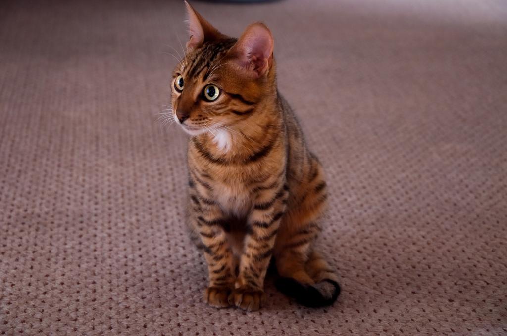 котята тойгер цена
