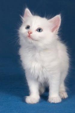 котенок турецкой ангоры
