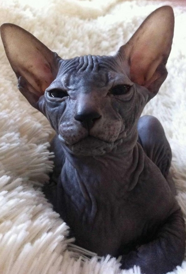 сколько стоит котенок петерболд